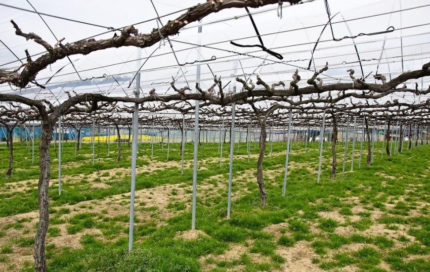 Соорудив шпалеру своими руками, виноград будет радовать обильным урожаем долгие годы