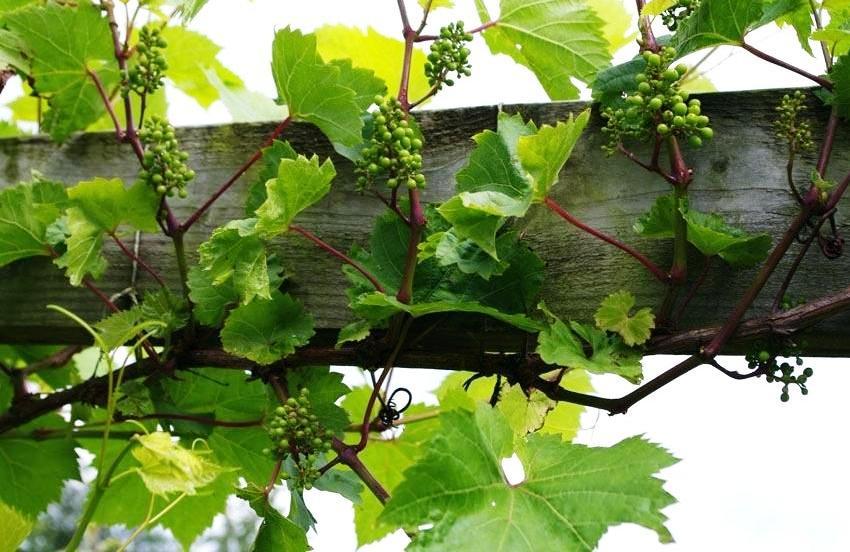 Деревянный каркас должен выдерживать нагрузку более 10 кг, в зависимости от сорта винограда и его урожайности